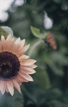 Love Pink Sunflowers