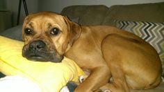 Mr. Captain Axel, my yr old boxer/ridgeback pup