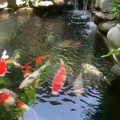 Fish Pond Gardens, Fish Garden, Beautiful Fish, Animals Beautiful, Ponds Backyard, Outdoor Fish Ponds, Koi Ponds, Pond Video, Koi Pond Design