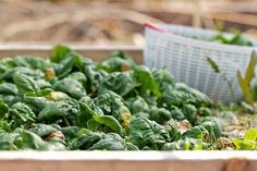 You don't have to be Popeye to love spinach. Here are some brief facts about why you'll want to add more spinach to your diet, as well as delicious ways to do so. Spinach is. Eating Alone, Eating Raw, Anemia, Natural Health Remedies, Vitamins And Minerals, Raw Food Recipes, Fitness Diet, Healthy Choices, Health Tips