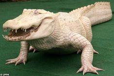 Un terrorífico cocodrilo ¡blanco! || Una Ventana al Mundo: Animales albinos