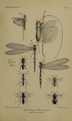 Oldy Timey Botanical Illustration Style, etc. From Isazalie's Engravings Board