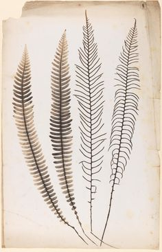 Cecilia Glaisher Fern Photographic print circa 1850 — circa 1858  Salted paper print from a photogenic drawing contact negative. Sterile and fertile fronds