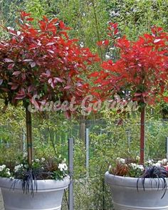 Magastörzsű Photinia x fraseri Red Robin | Sweet Garden