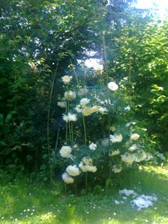 weiße Rosen Dandelion, Flowers, Plants, White Roses, Trees, Garten, Dandelions, Flora, Plant