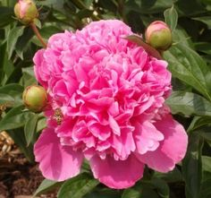 Peony my favorite flower American Meadows, House With Porch, Peony, Porches, Garden Landscaping, Flower Power, Beautiful Flowers, Florals, Garden Ideas