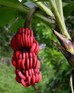 Red Dacca Bananas.They are smaller and plumper than the common Cavendish banana. When ripe, raw red bananas have a flesh that is cream to light pink in color. They are also softer and sweeter than the yellow Cavendish varieties, with a slight raspberry flavor.