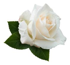 white rose transparent background - Google Search