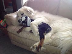 """AWWW!!!! A baby goat kid, recovering from listeria…being protected by its ""pyr guardian"". MELTS MY HEART."