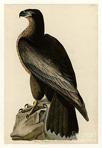 American Drawing - Bird Of Washington by Celestial Images