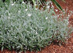 Plant photo of: Cerastium tomentosum