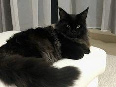 Catsvill County Royal boy http://en.mcoon.ru/kitten/1491479816_1491484487/