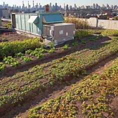 The New Urban Agriculture: Growing the Second Green Revolution - Homesteading and Livestock - MOTHER EARTH NEWS. Great idea: kiddie pools are beds for roof top gardens. Light weight and deep enough! Urban Agriculture, Urban Farming, Renewable Energy, Solar Energy, Green Revolution, Mother Earth News, Food Security, Kiddie Pool, Roof Top