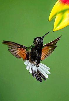 Black-bellied Hummingbird Eupherusa nigriventris). A hummingbird of Colombia and Panama. photo: Phoo Chan.