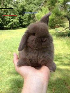 In the event you are searching for a furry friend which is not only adorable, but easy to have, then look no further than a family pet bunny. Baby Animals Super Cute, Cute Baby Bunnies, Cute Little Animals, Cute Funny Animals, Cute Babies, Mini Lop Bunnies, Mini Lop Rabbit, Dwarf Rabbit, Baby Animals Pictures