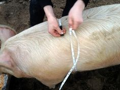 ~How to Estimate the Weight of a Live Hog~ | Reformation Acres GET OUT!!!