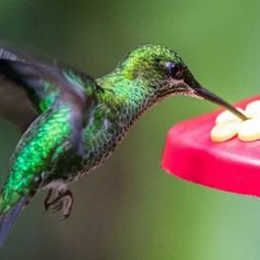 A list of perennial flowering plants to attract hummingbirds to your garden. Choose plants they can use for nectar and they'll keep coming back. Hummingbird Nectar, Hummingbird Food, Ruby Throated Hummingbird, Sugar Water For Hummingbirds, Plants To Attract Hummingbirds, Hummingbird Migration, Pop Can Crafts, Garden Bed Layout, Small Mason Jars