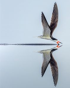 """Black Skimmer"" by Richard Higgins: A black skimmer skimming the pond looking for a meal.""Black Skimmer"" by Richard Higgins: A black skimmer skimming the pond looking for a meal. Wildlife Photography, Animal Photography, Beautiful Birds, Animals Beautiful, All Birds, Tier Fotos, Colorful Birds, Nature Animals, Bird Watching"