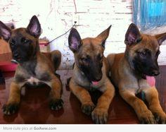 Ferocious little guard dogs...German Shepherd puppies.