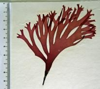 MACOI - Portuguese Seaweeds Website