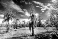 """Sky with Cypress"", Photo by Harriet Blum. This photo was taken at Jean Lafitte National Park near New Orleans, LA.  I used black and white infrared film."