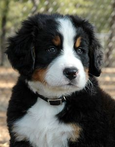 Good Heavens, what a cute Berner Pup!