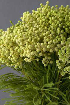 Berzilia berries or button bush