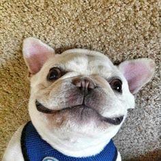✝☮✿★ Puppy ✝☯★☮ Silly French Bulldog