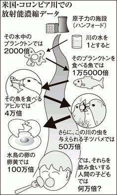 広瀬隆さん 「米国、コロンビア川 (ハンフォード再処理場が面している) での放射能濃縮データ。  濃縮されて アヒルでは、水の放射能の4万倍、 水鳥の卵の黄身では100万倍になる。  今、こういうサイクルに日本も入った」