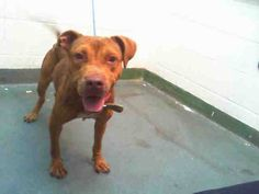 GONE --- JULIE (A1666758) I am a female brown and white Pit Bull Terrier. The shelter staff think I am about 3 years old. I was confiscated and I may be available for adoption on 12/23/2014. — hier: Miami Dade County Animal Services. https://www.facebook.com/urgentdogsofmiami/photos/pb.191859757515102.-2207520000.1418945553./890389720995432/?type=3&theater