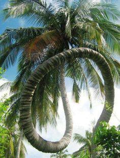 .~ ~  Coconut tree