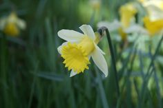 Buy species daffodil bulbs Narcissus lobularis '(Haw.) Schult.  Schult. f.': Delivery by Crocus.co.uk