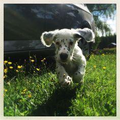 Dante, 7 weeks old english setter. Big Animals, Animals And Pets, Mans Best Friend, Best Friends, Doggies, Dogs And Puppies, English Setter, Old English, Fur Babies