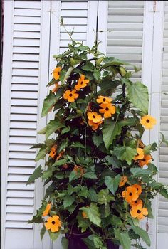 ALATA. Orange/yellow flowers with a dark center. However, the blooms are actually trumpet shaped with the dark centers forming a tube. Will vine and climb over 5 feet and bloom continually. Also makes