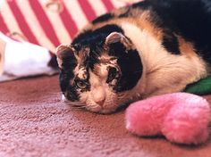 Scarlett, the Calico cat that made headlines in '96 for braving a raging fire in a Brooklyn garage to save her tiny 4-week-old kittens, passed away recently. The stray feline pulled her 5 kittens to safety & suffered severe burns in the blaze. Her heroism captured the hearts of people around the world. North Shore Animal League got 7000 adoption inquiries for Scarlett & her kittens. The dedicated mother was adopted by Karen Wellen of Brooklyn & lived life comfortably. Rest in Peace…