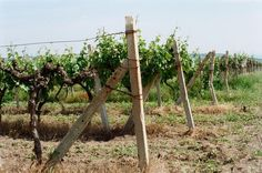 #winemaking #grape #wine #kodak #film #artfilm #analog #negativefilm #analogue #пленка #travel #atmosphere by cat_satin
