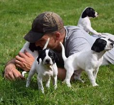 English Pointer pups on their first day of field training