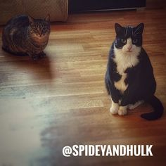 When you see this, you know they expect something from you...😎 #apidey #hulk #expectation #cats #catsofinstagram #instacat #thedailykitten #meow #kitty #see #you #evening #home #hope #love #paw #share #repost #spideyandhulk