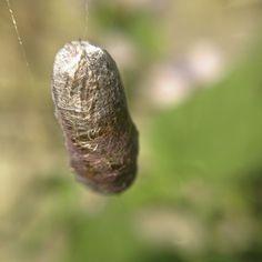 Silk Cocoon   by David Hulme