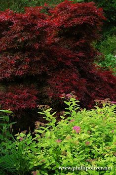 Japanese Maple (Acer palmatum 'Shaina') with Spirea at Dirt Therapy