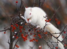 The Albino Squirrel from Olney, Illinois. - The Albino Squirrel from Olne . - The Albino Squirrel from Olney, Illinois. – The Albino Squirrel from Olney, Illinois. Amazing Animals, Interesting Animals, Animals Beautiful, Rare Albino Animals, Tier Fotos, All Gods Creatures, Chipmunks, Beautiful Creatures, Animal Photography