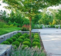 Shot of Entrance courtyard - Plantings of boxwoods, zelkova, roses, nepeta surrounded by stone walls.