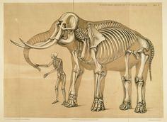 Hoof elephant - Google 検索
