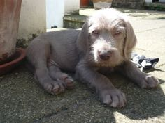 Slovakian rough haired puppy