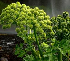 Angelica archangelica is a majestic plant that deserves a prominent position at the back of a border or in a wild part of the garden.