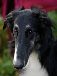 Borzoi wow don't see them too often thanks 4 sharing Baby Dogs, Pet Dogs, Dog Cat, Dogs And Puppies, Beautiful Dogs, Animals Beautiful, Cute Animals, Borzoi Dog, Whippets