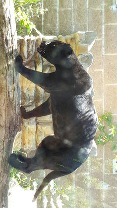 Panther, aka black spotted jaguar