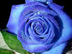 Unusual blue rose with raindrops Amazing Flowers, Beautiful Roses, Pretty Flowers, Unique Roses, Simply Beautiful, Ronsard Rose, Rare Roses, Home Garden Plants, Bonsai Plants