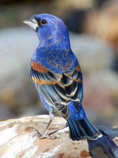 "Blue Grosbeak (Passerina caerulea, formerly Guiraca caerulea)[3], is a medium-sized seed-eating bird in the same family as the Northern Cardinal, ""tropical"" or New World buntings, and ""cardinal-grosbeaks"" or New World grosbeaks."