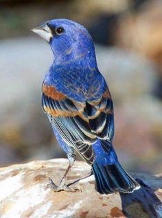 "Blue Grosbeak (Passerina caerulea, formerly Guiraca caerulea)[3], is a medium-sized seed-eating bird in the same family as the Northern Cardinal, ""tropical"" or New World buntings, and ""cardinal-grosbeaks"" or New World grosbeaks."
